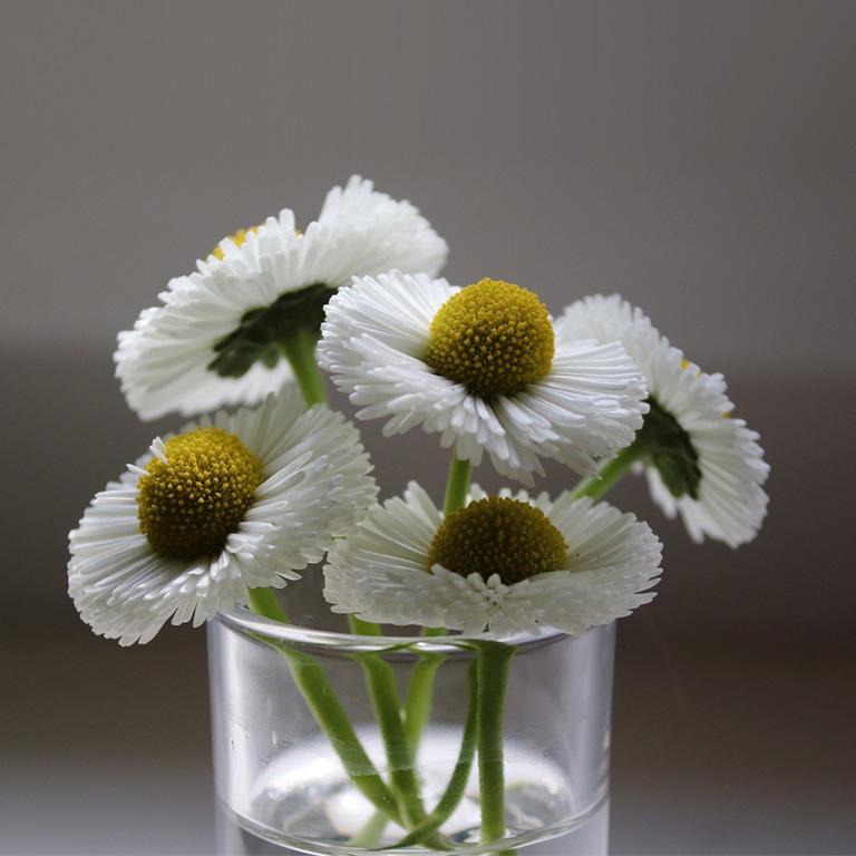 Bellis Flower Images