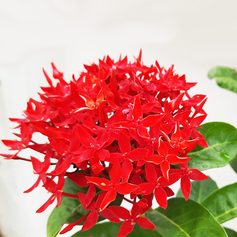 Red Milkweed Flowers Pictures