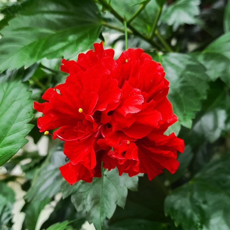 Free Hibiscus Images